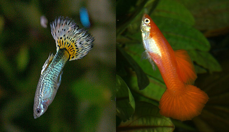 Guppy fish swimming vertically is abnormal behavior