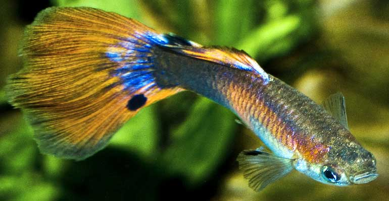 guppy swimming vertical cure and symptoms 770
