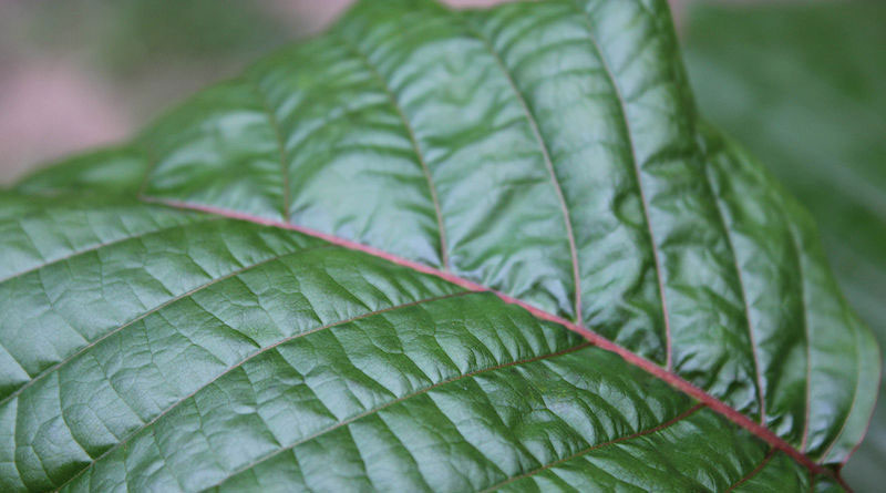 Kratom Drug Facts Addiction Claims and Call for the Ban 800x445